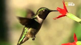 Download Le colibri à gorge rubis Video