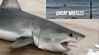 Download caught GREAT WHITE SHARK FROM BEACH swimming baits out Video