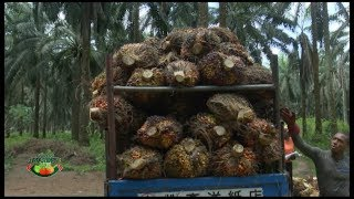 Download FARMERS MARKET: PAINS OF OIL PALM PRODUCTION Video