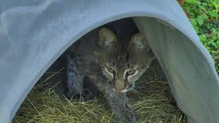 Download Bobcat Rehab and Release Cam 11-20-2017 14:00:16 - 15:00:17 Video