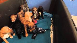Download Australian Labradoodle Puppies for sale Video