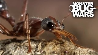 Download Bull Ant Vs Redback Spider | MONSTER BUG WARS Video