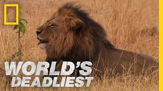 Download Lethal Lioness Pride | World's Deadliest Video