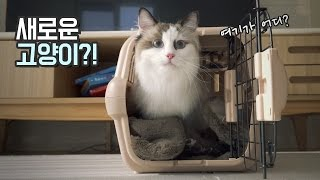 Download 새로운 고양이!! 친동생네 고양이 탁묘하는 날 Video