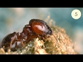 Download Big-headed Ant Colony (Part 5) Video