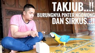 Download Talking and Sircus with my Parrots Blue and Gold Macaw..! Video