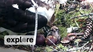 Download Osprey Babies First Moments, Osprey Babies Debut Video