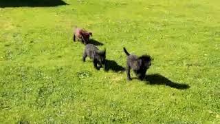 Download Labrador Retriever Puppies For Sale Sam Allgyer Jr Video