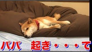 Download パパを起こしにきた柴犬ハナの一部始終 - Shiba breaks into dad's dreams.- Video