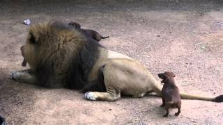 Download A lion and his dogs Video