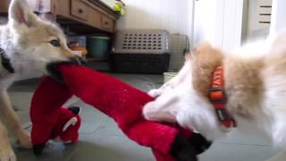 Download Baby Wolf and Border Collie Pup Tug of War Video