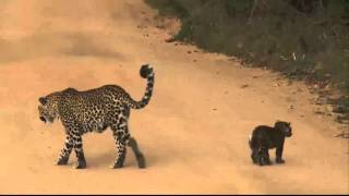 Download Karula and cubs SafariLIVE 26th April 2016 Video