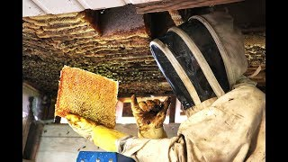 Download Extreme Honey Bee Hive Removal | SO MUCH HONEY | Honey Bees in the Ceiling! Video