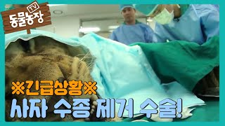 Download 긴급상황! 사자의 수종을 제거하라! I TV동물농장 (Animal Farm) | SBS Story Video