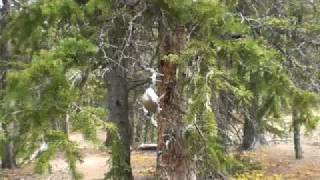 Download Camp Robber - Gray Jay Perisoreus canadensis Video