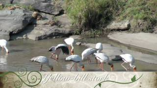 Download Birds of East Africa.mov Video