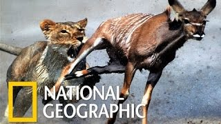 Download National Geographic Documentary - Lions Ruthless - Nat Geo wild Video