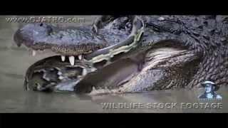 Download Python Fighting Alligator 0101 Narration Video