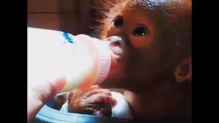 Download Popi the rescued Orangutan needs you help! Video