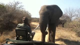 Download Elephant close encounter: Toro Yaka Bush Lodge South Africa Video