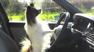 Download Bentley The Explorer, Papillon dog Video