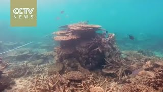 Download Great Barrier Reef suffers most extreme coral die-off ever Video