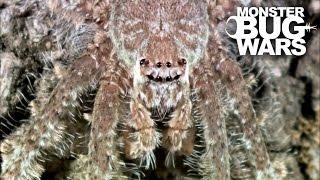 Download Grey Tree Runner Mantis Vs Lichen Huntsman Spider | MONSTER BUG WARS Video