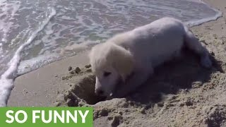 Download Puppy furious after ocean water destroys his sandcastle Video