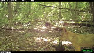 Download Ohio coyote/coywolf pups great day time footage Video