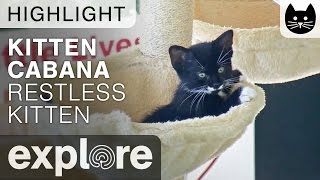 Download Restless Kitten Tries to Sleep at the Kitten Cabana - Live Camera Highlight Video
