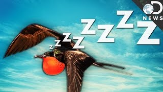 Download How Can Birds Sleep While They're Flying? Video