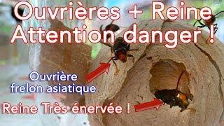 Download Premières ouvrières + reine frelon asiatique = attention danger ! Video