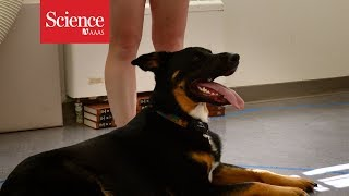 Download What makes dogs so friendly? Study finds genetic link to super out-going people Video
