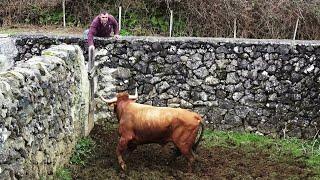Download Transferir Touro Para Outras Pastagens e Tratar Um Lote de Vacas Video