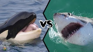 Download GREAT WHITE SHARK VS KILLER WHALE - Who is the real apex predator? Video