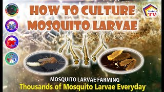 Download How to Culture Mosquito Larvae: Thousands of Mosquito Larvae Everyday Video