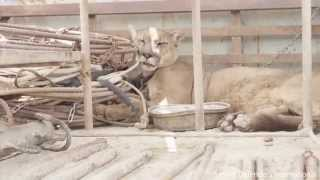 Download Unchained: Mountain lion returned to forest after life in back of circus pick-up truck Video