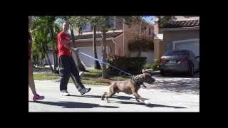Download AGGRESSIVE PIT BULL - Destroys other Dogs! ( Part 1 ) Video