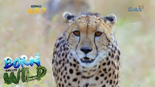 Download Born to Be Wild: Close encounter with a cheetah Video