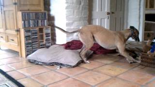 Download Silly happy greyhound Video