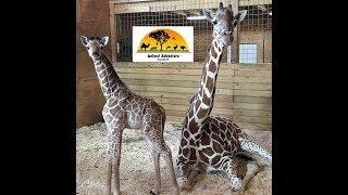 Download Animal Adventure Park Giraffe Cam Video