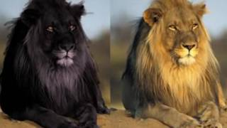 Download 10 Most Amazing Melanistic Animals Video