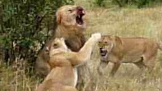 Download Lion Fight - Part III Video