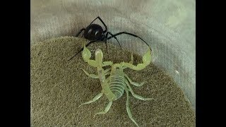Download Black Widow Spider vs. Desert Hairy Scorpion: Educational Natural Pest Control Test Video