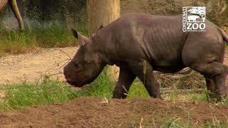 Download Black Rhino Calf Kendi Getting More Comfortable Outside - Cincinnati Zoo Video