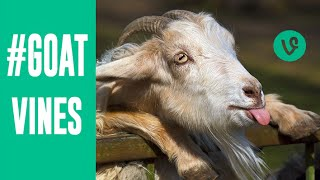 Download Best GOATS VINES Compilation | March 2015 | Funny Animal Vines Video