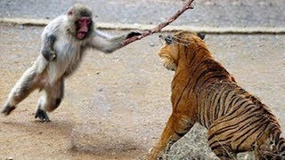 Download Animals Attack - TIGER vs MONKEY - Moments Of Wild Animal Fights Video