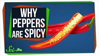 Download The Real Reason Peppers are Spicy Video