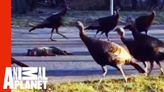 Download Why Is This Strange Flock Of Turkeys Marching Around A Dead Cat?! | Weird, True & Freaky Video