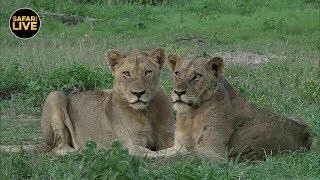 Download safariLIVE - Sunrise Safari - January 19, 2019 Video